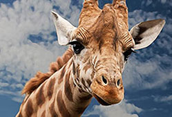 Die Giraffe hat stets den Überblick.